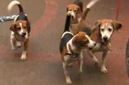 Beagles rescued from lab in Spain