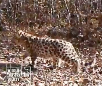 An adult female Amur leopard and two cubs were seen on a camera in China.