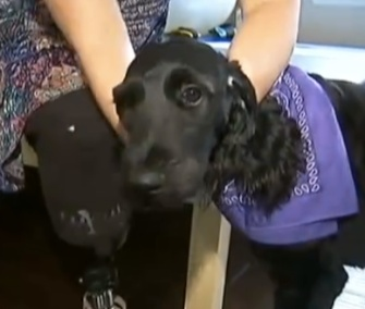 Belle, a black Labradoodle, has been trained to assist amputee Aimee Copeland.