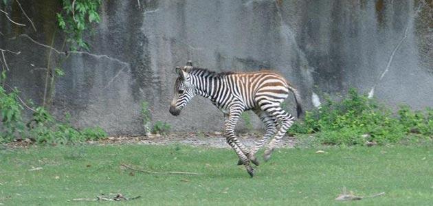 Baby zebra at Baton Rouge Zoo
