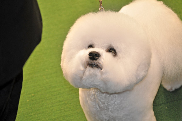 A Bichon Frise poses in the ring