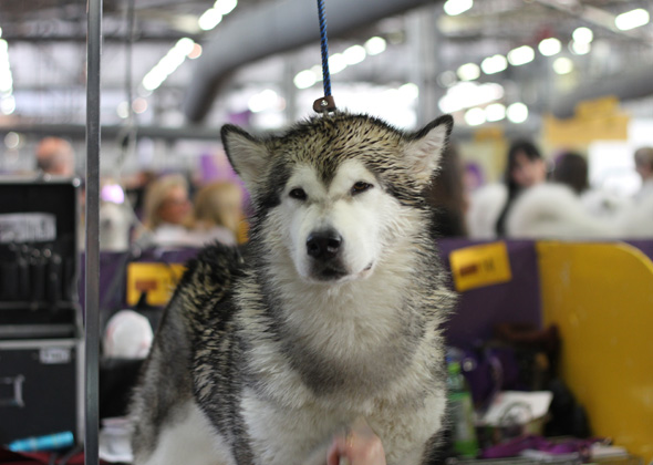 Alaskan Malamute dries off at Westminster