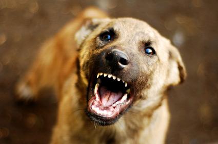 Angry dog barking.