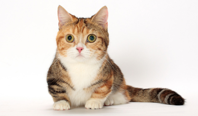 lysine supplement for cats