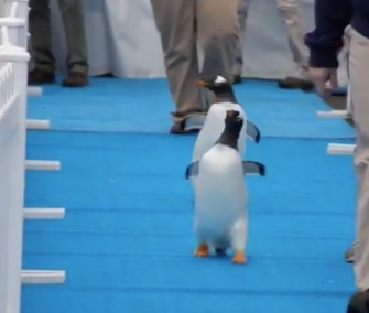 Penguins walk the blue carpet to their new home at the Detroit Zoo.