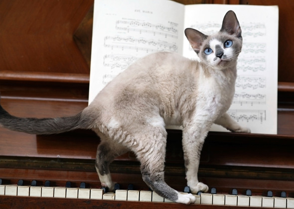 Cat on Piano