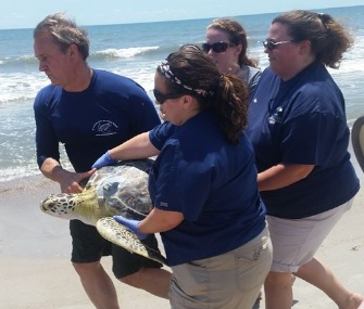 Once deemed non-releasable, Sunburst the green sea turtle made a surprise comeback.