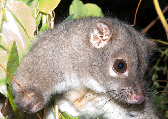Rock ringtail possum