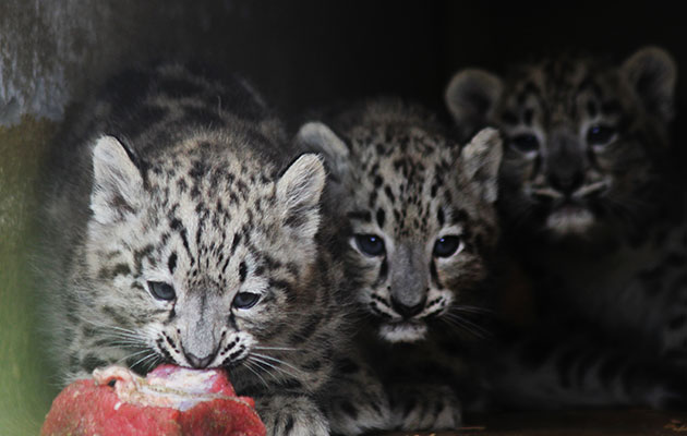Three snow leopard cubs at the Helsinki Zoo in Finland were lured from their nest with meat.