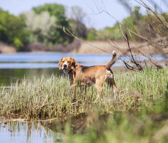 Beagle at a riverbank