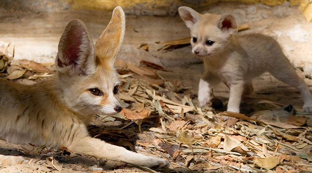 mom with fennec fox