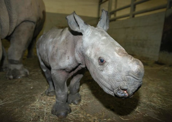 Southern white rhino born at The Wilds