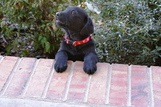 Cute black puppy named Coal leaning on porch
