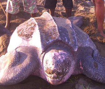Leatherback sea turtles are facing a sharp decline in their nesting numbers.