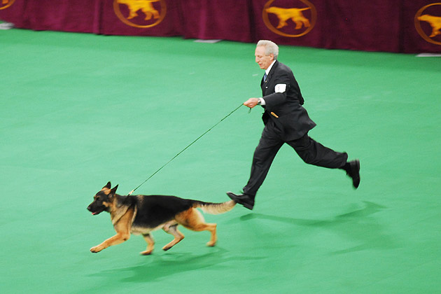 German Shepherd Dog Winner running in the ring