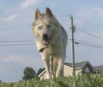 Sierra, a 16-yera-old Siberian Husky, was rescued from a drainage pipe where she was stuck for three days.