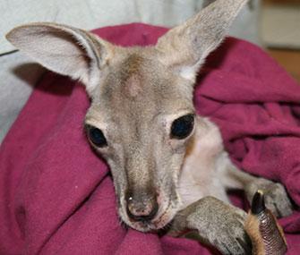 An orphaned red kangaroo joey has a new surrogate mom at an Australian Zoo.