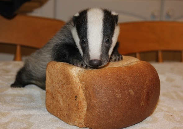 This orphaned badger cub was found in March and is being cared for at the Secret World Wildlife Rescue in the U.K.