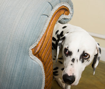 Dalmatian cowering and hiding