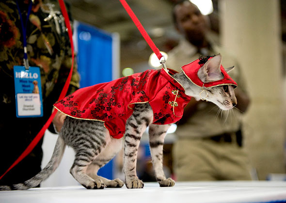 Asian-Inspired cat at Meet the Breeds cat fashion show