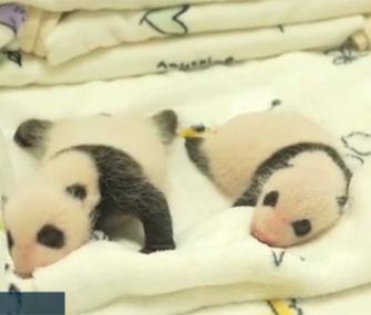 Panda twins debut in China
