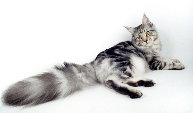 Grey And White Cat Mix Breed