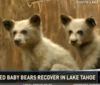Two abandoned black bear cubs were rescued and brought to the Lake Tahoe Wildlife Center.