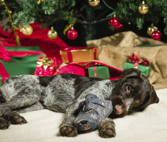 Dog chewing shoe under Christmas tree