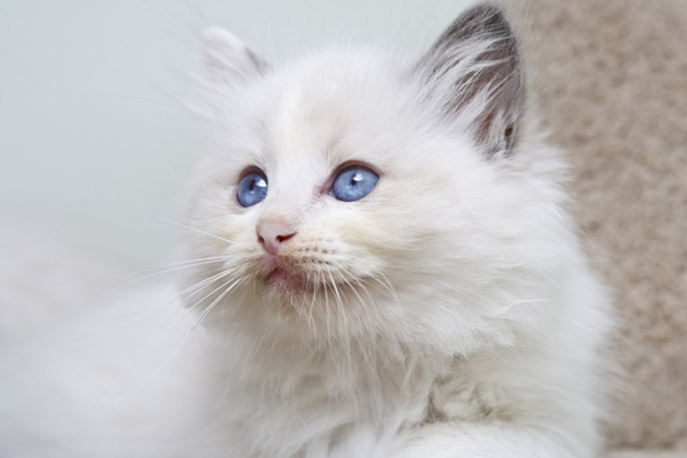 Radgoll cat breed