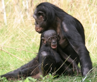 A young bonobo snuggles with mom.