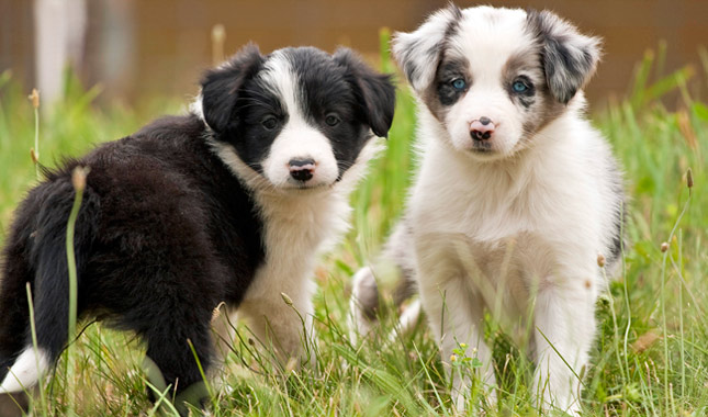 Dog Breeds That Look Like Border Collies