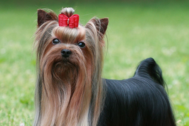 Yorkshire Terrier: Big Explorer in a Little Package