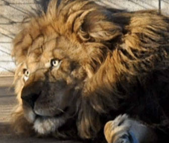 A Texas burger joint donated its elk meat to Aramis, a sick African lion.