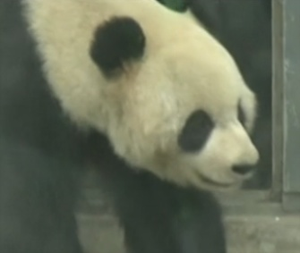 Two giant pandas moved from their home in Sichuan Provence in China to a wildlife park in Belgium over the weekend.