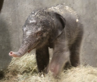 A baby girl was born to the St. Louis Zoo's Asian elephant on Friday night.