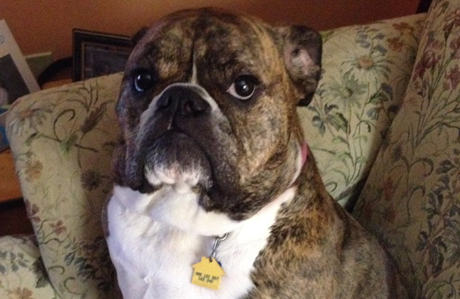 Lexie the English Bulldog looks upset.