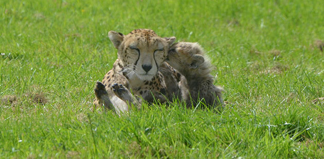 One of cheetah Dubai's cubs whispers sweet nothings in her ear at the Whipsnade Zoo in the U.K.