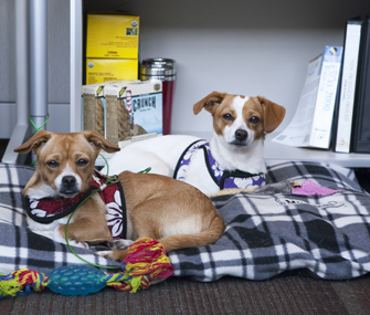 Two dogs on a bed at CLIF headquarters