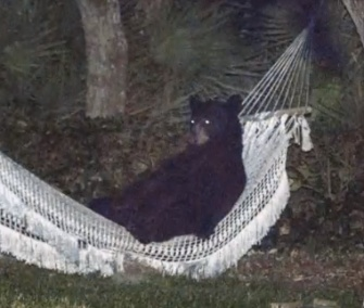 A black bear stopped to take a rest in a relaxing hammock in Florida.
