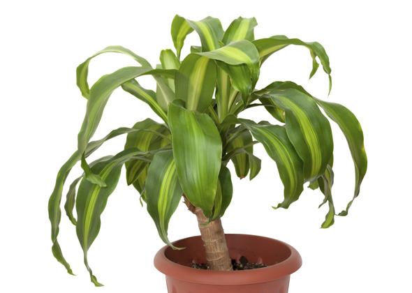 identify common house plants pictures - Identifying Common House Plants