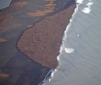 An estimated 35,000 Pacific walrus have come ashore in Alaska because of a lack of sea ice.