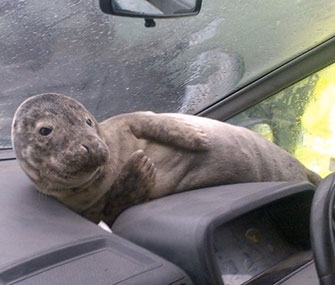 Smartie the seal pup relaxes in a warm, dry spot in a ferry worker's car in Scotland.