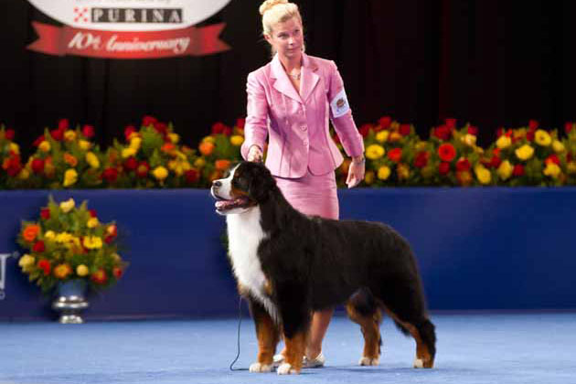Bernese Mountain Dog show dog