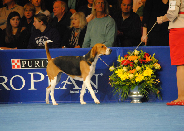 American Foxhound, hound group winner for 2012 National Dog Show
