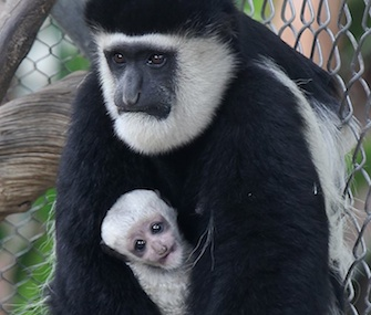 A Colobus monkey was born at the Santa Ana Zoo in California on Sept. 1.