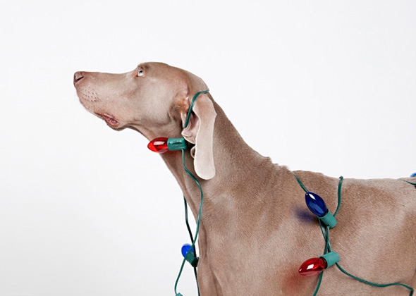 Weimaraner ready for Christmas