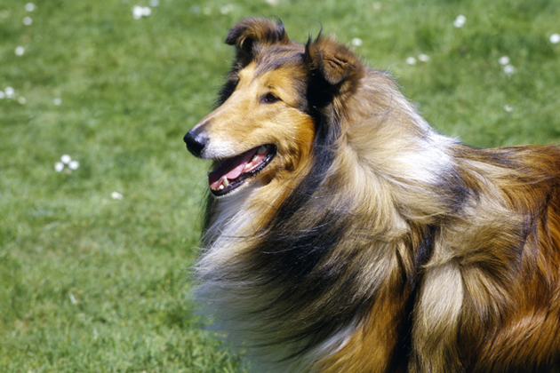Collie — Famously Friendly