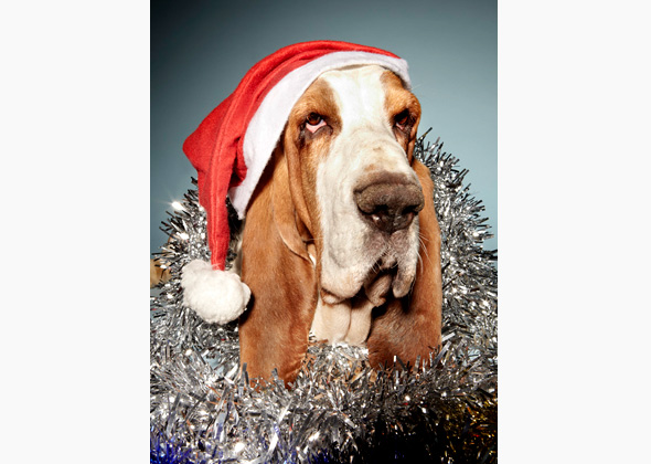 Basset Hound ready for Christmas