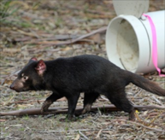 Twenty Tasmanian devils treated with a new vaccine were released into the wild Saturday.