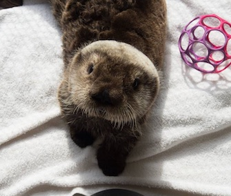 The Alaska SeaLife Center is asking for help in naming a rescued male sea otter pup.